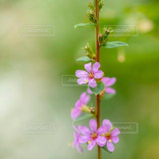 ミソハギの花の写真・画像素材[1770307]
