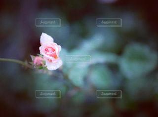 雨にぬれたピンクのバラの写真・画像素材[1770888]