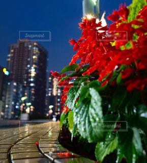街灯に照らされたサルビアの花の写真・画像素材[1772094]