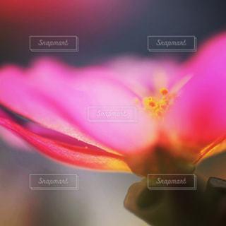 ポーチュラカの花のアップの写真・画像素材[1772101]