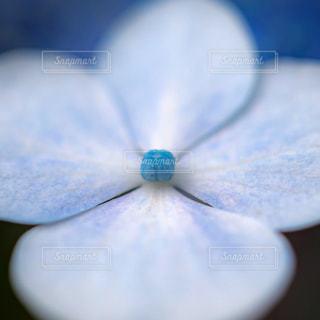 紫陽花のアップの写真・画像素材[1772550]