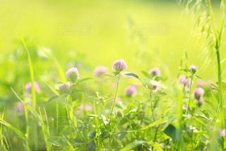 草むらに生えるアカツメクサの写真・画像素材[1775324]