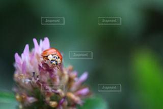 テントウ虫とアカツメグサの写真・画像素材[1775330]