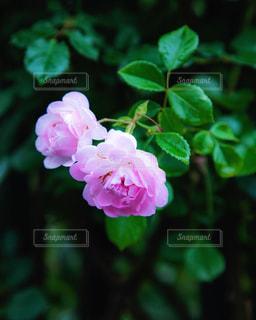 ピンクのバラの写真・画像素材[1775331]