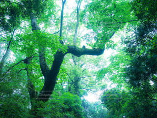 新緑の樹木の写真・画像素材[1775373]