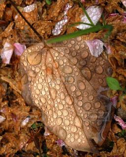 雨に濡れた落ち葉の写真・画像素材[1777083]
