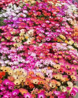 鮮やかに咲き誇る花壇の写真・画像素材[1777084]
