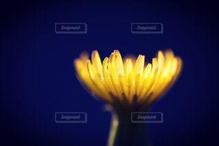 浮かびあがるたんぽぽの花の写真・画像素材[1777091]