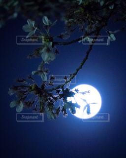 月夜に浮かぶ桜の花の写真・画像素材[1777143]