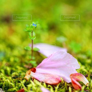 散りゆく桜の花と、新しい小さな芽の写真・画像素材[1777145]