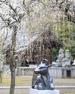 枝垂れ桜の下にいる牛の銅像の写真・画像素材[1778294]