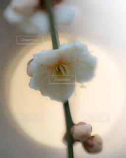 光をバックに咲く梅の花の写真・画像素材[1778296]