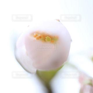 咲きかける桜の花の写真・画像素材[1778300]