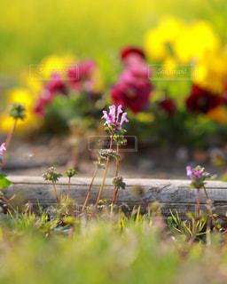 庭先に咲くホトケノザの写真・画像素材[1778301]