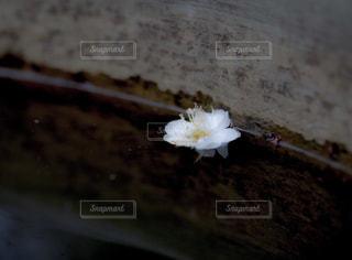 水辺に浮かぶ桜の花の写真・画像素材[1778302]
