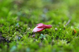 蕾のまま落ちた桜の花の写真・画像素材[1778303]