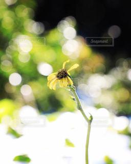 ツワブキの花の写真・画像素材[1780185]