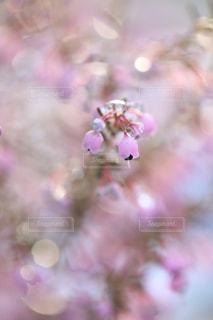 雪とエリカの花の写真・画像素材[1782572]