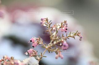 雪とエリカの花の写真・画像素材[1782573]