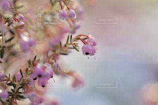 雪とエリカの花の写真・画像素材[1782575]