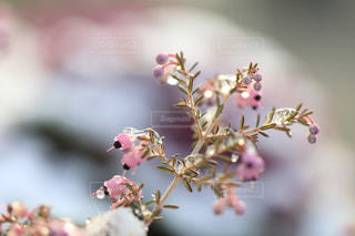 雪とエリカの花の写真・画像素材[1782577]