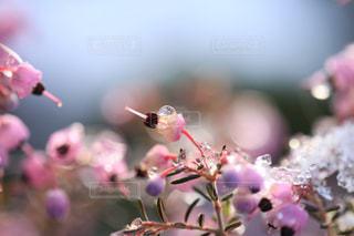 雪とエリカの花の写真・画像素材[1782578]