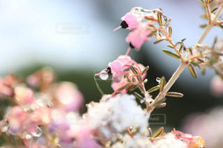 雪とエリカの花の写真・画像素材[1782580]