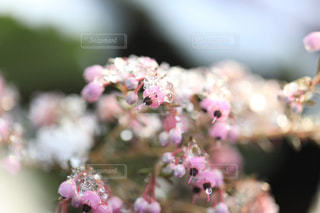 雪とエリカの花の写真・画像素材[1782581]