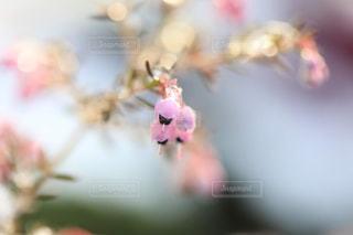 雪とエリカの花の写真・画像素材[1782582]