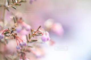 雪とエリカの花の写真・画像素材[1782583]
