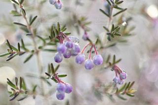 雪とエリカの花の写真・画像素材[1782767]