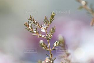 雪とエリカの葉の写真・画像素材[1782768]