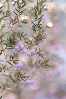 雪とエリカの花の写真・画像素材[1782769]