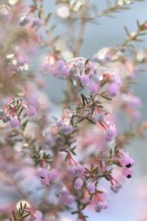 雪とエリカの花の写真・画像素材[1782770]