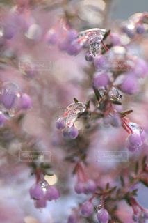 雪とエリカの花の写真・画像素材[1782771]