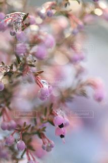 雪とエリカの花の写真・画像素材[1782772]