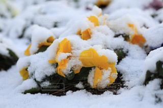 雪に耐える花の写真・画像素材[1784169]