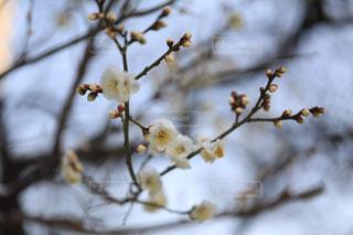 雪が被る梅の花の写真・画像素材[1784171]