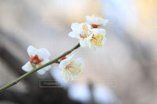 梅の花のアップの写真・画像素材[1784172]