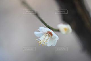 梅の花のアップの写真・画像素材[1784173]