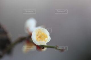 梅の花のアップの写真・画像素材[1784174]