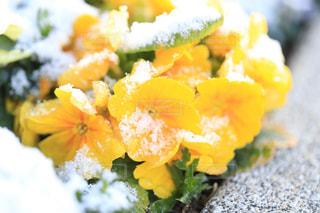 雪に耐える花の写真・画像素材[1784175]