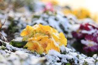 雪に耐える花の写真・画像素材[1784176]