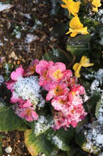 雪に耐える花の写真・画像素材[1784177]