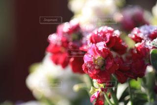 雪に耐える花の写真・画像素材[1784178]
