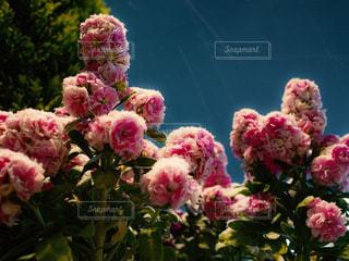 雪に耐える花の写真・画像素材[1784182]