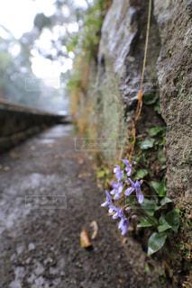 壁面に咲くスミレの花の写真・画像素材[1785154]