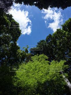 青空と青紅葉の写真・画像素材[1785155]