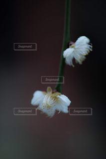 悲哀感じる梅の花の写真・画像素材[1786944]