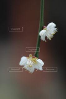 梅の花のアップの写真・画像素材[1786945]